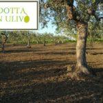 A Montemurlo si può adottare un olivo. Il Comune ha pubblicato l'avviso per concedere l'autorizzazione alla raccolta delle olive dagli alberi di proprietà pubblica