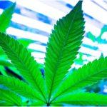 Nota San Patrignano sulla sentenza della Cassazione riguardo alla coltivazione domenstica di cannabis